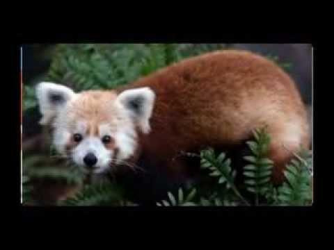 The Red Panda / Petit Panda / Ailurus Fulgens