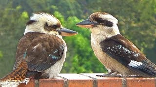 Laughing Kookaburra Takes a Bath and Laughs