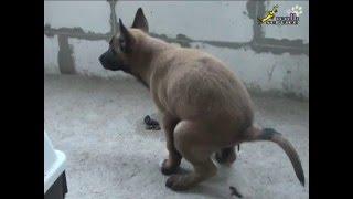 Дрессировка собак Как приучить щенка к туалету(, 2013-06-08T14:39:26.000Z)