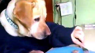 Забавное Видео собак - Лабрадоров! [NEW!](Лабрадор ретривер замечательный питомец. Также лабрадоры щенки такие милые. Лабрадоры являются удивительн..., 2015-12-23T10:58:39.000Z)