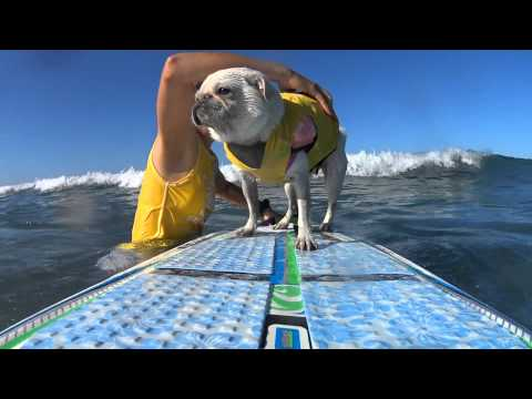 Surf Gidget The Pug Surfs Surf City Surf Dog Competition 2015