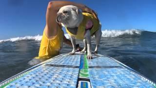 Surf Gidget The Pug Surfs Surf City Surf Dog Competition 2015