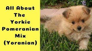 All About The Yorkie Pomeranian Mix (Yoranian)