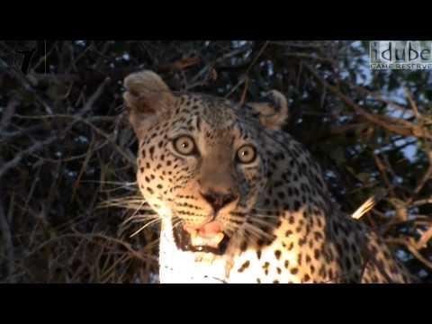 Leopard Calls (Close-Up View) (HD)