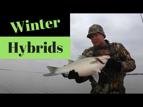 How To Locate And Catch Winter Hybrids/Stripers Using Deadsticking