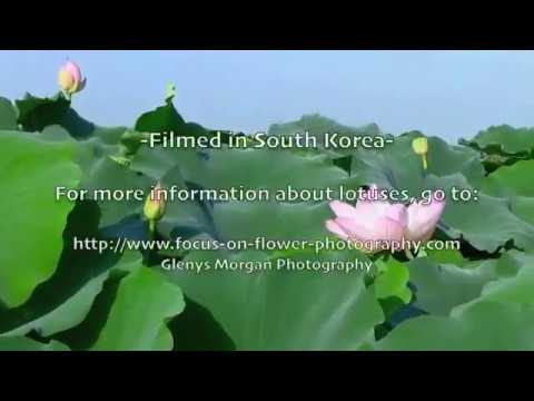 Lotus Flowers,  Daegu, South Korea