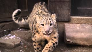 Snow Leopards: Up Close and Personal