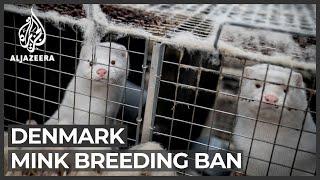 Denmark passes law banning mink breeding until end of 2021