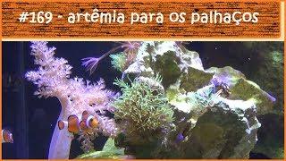 Alimentando os peixes palhaço com artêmia - #EP169