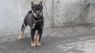 天然記念物の北海道犬(アイヌ犬)と暮らす日々をご覧下さい。
