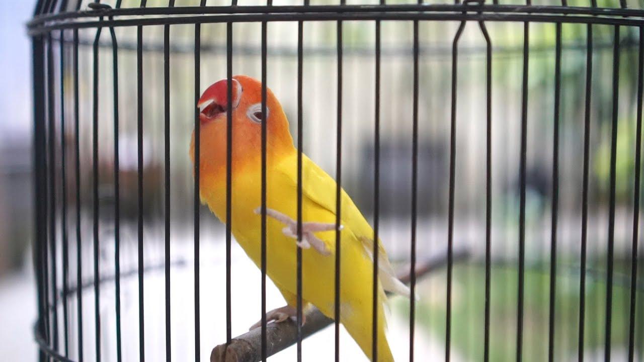 Sekali pancing Lovebird langsung nyaut , pancingan lovebird ngetik ngekek jitu