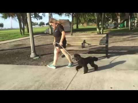 Rocky | Miniature Poodle | Dog Training Tampa Bay