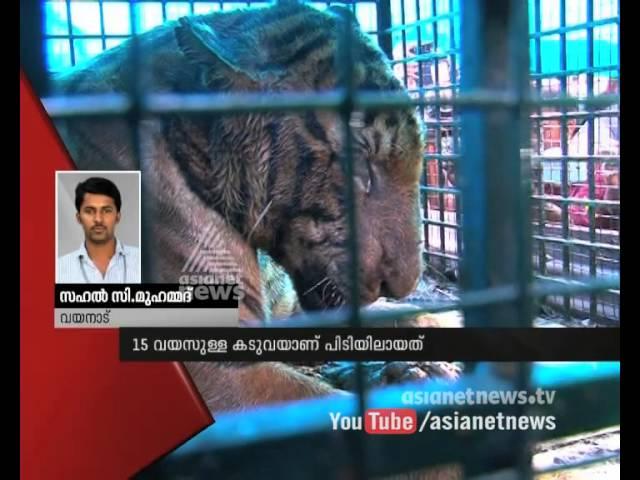 Forest Guard  to Catch the Tiger in Wayanad  വയനാട്ടില് കടുവയെ പിടികൂടി