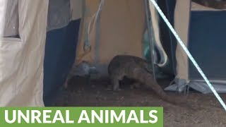 Terrifying (and huge!) Monitor Lizard sneaks into tourist tent