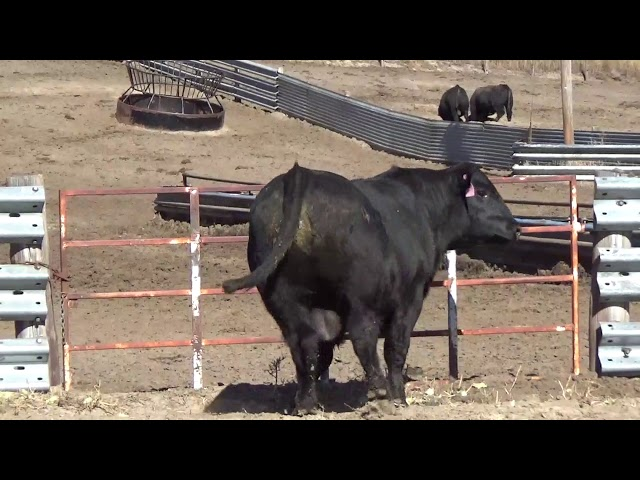 Connealy Angus Lot 173