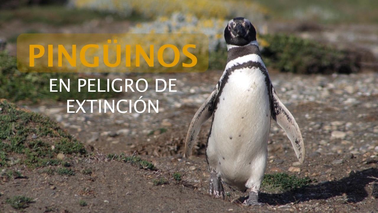 Pingüinos En Peligro De Extinción Youtube