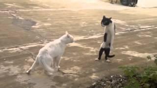 кошачьи приколы!! ржака!!