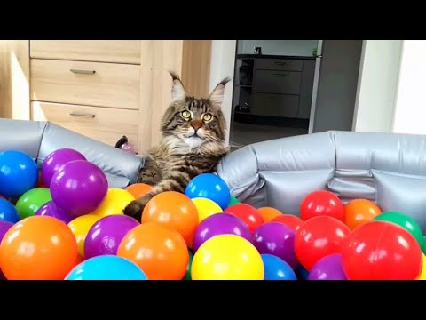 DIY ball pit: surprised Cute Cats : Funny Maine Coon Ziko