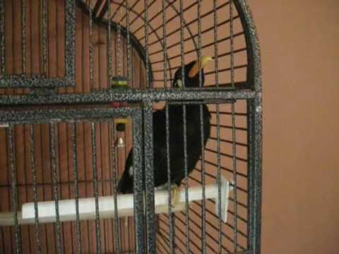 Alfie our talking mynah bird