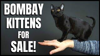Bombay Kittens for Sale!