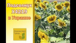 Подсолнух Х4219 в Украине