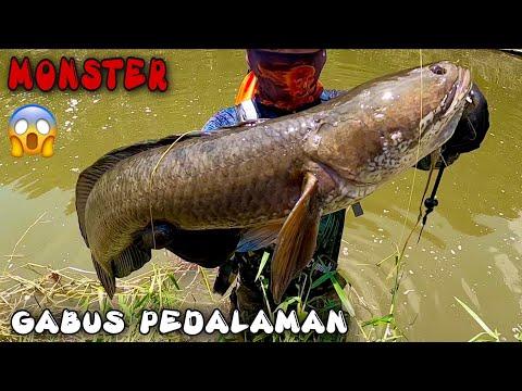 Mancing Ikan Gabus Monster ||casting Gabus/haruan|| Tarikanya Terasa Seperti Casting Toman Monster