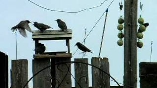 Starling Feeding Young in Loftus