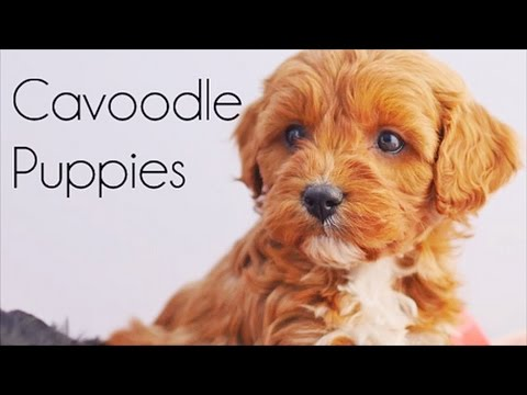 Cavoodle puppies at 6 weeks old