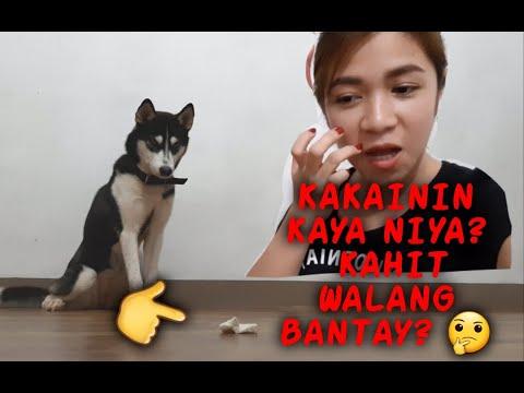 SIBERIAN HUSKY SMART DOG || Our baby Akira 🥰