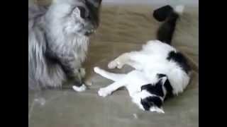 Мейн кун играет с обычной домашней кошкой - rukot.com