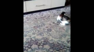 Кошка бегает за хвостом как собака