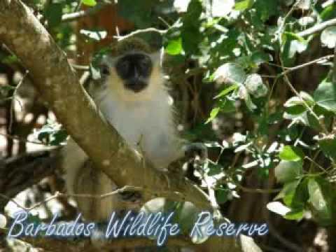 Barbados Wildlife Reserve Glory Tours