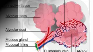 Pulmonary Fibrosis by Mesothelioma Guide