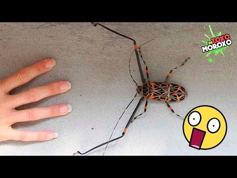 Mira Que Pasa Si Tocas a Este Insecto   DeToxoMoroxo