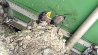 ツバメの赤ちゃんの食事風景です。 しかしエサは・・・ 自然界は厳しい...