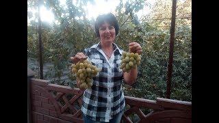 Виноградник Яремаки А.П. Созревание среднеранних  сортов  винограда