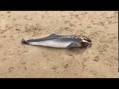Hallazgo de una cría de delfín muerta en la playa de Helgueras de Noja