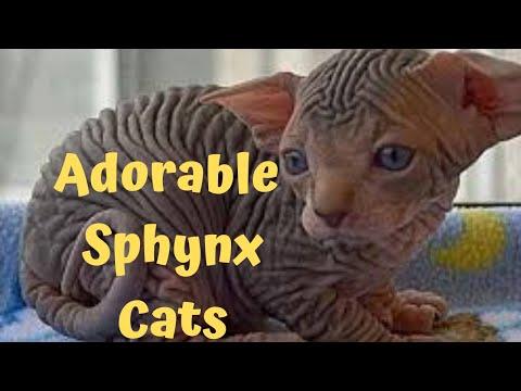 Cute hairless sphynx - Enjoy this adorable  hairless sphynx