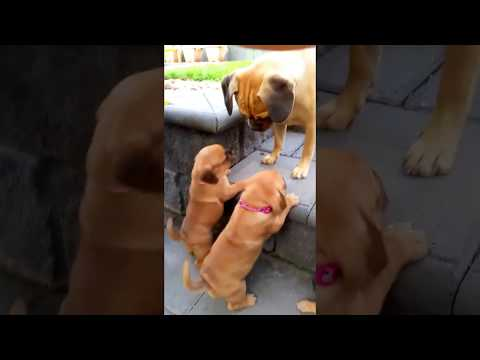 Pugalier puppies trying to climb steps to be with older sister Daisy
