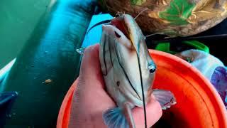Рыбалка на реке Кубань 2020   Американский сом