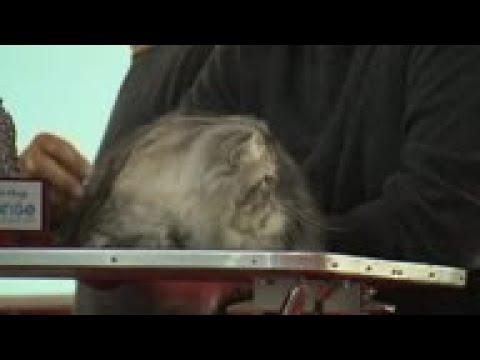 Award winning felines at Rome's SuperCat Show