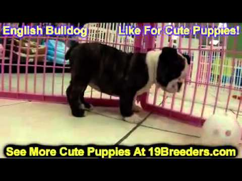 English Bulldog, Puppies, For, Sale, In, Indianapolis, Indiana, IN, Valparaiso, Goshen, Westfield, M
