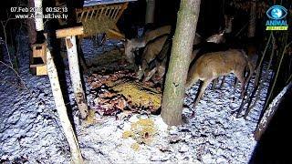 🦌 Łanie w karmisku dla dzikich zwierząt w lesie na Podkarpaciu