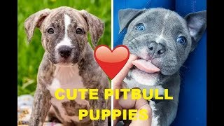 Cute pitbull puppies videos