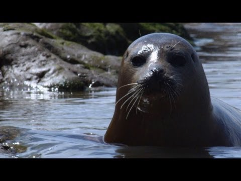 Wild Seals in the Thames - Unexpected Wilderness - BBC