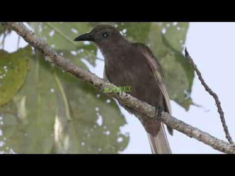 Suara Burung Kepodang Halmahera