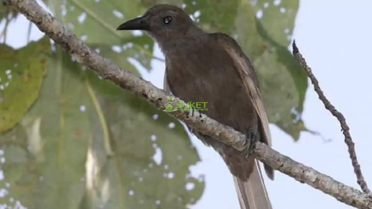 Suara Burung Kepodang Halmahera By Sugeng Riyadi