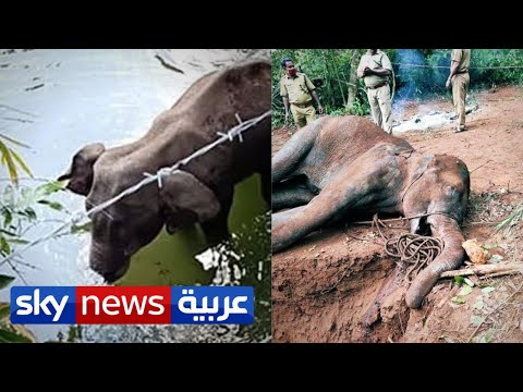 مقتل أنثى الفيل الحامل في الهند يبكي العالم والشرطة تلقي القبض على المشتبه به | منصات  - نشر قبل 2 ساعة