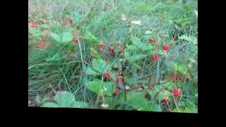9th July Wild Strawberries on Squirrel Hill.wmv