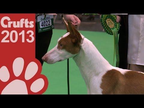 Ibizan Hound - Best of Breed - Crufts 2013